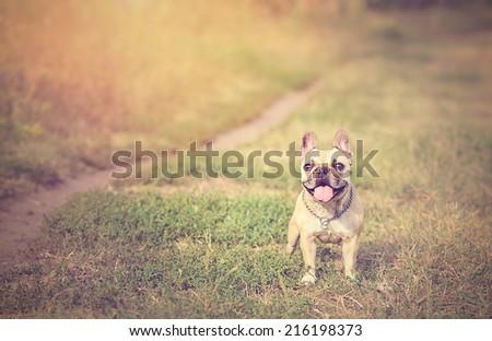 Vintage photo of a French Bulldog - stock photo