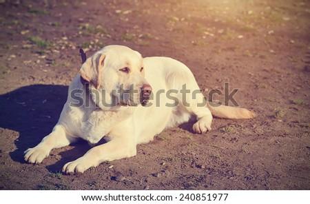 Vintage photo of a Labrador Retriever dog - stock photo