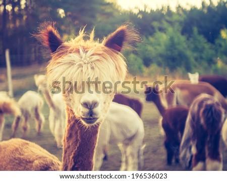 vintage photo of alpaca - stock photo