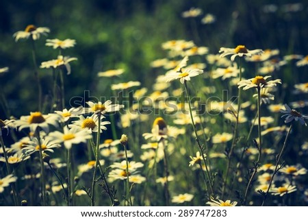 Vintage photo of beautiful chamomile flowers growing and blooming in nature. Macro shoot. - stock photo
