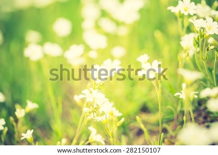 Vintage photo of blooming white flowers of chickweed in green grass. Nature springtime flowers background. - stock photo