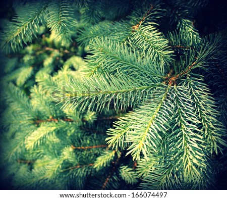 Vintage photo of branch fir-tree ( Colorado Spruce)  - stock photo