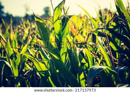 vintage photo of corn field - stock photo