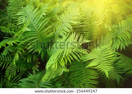 Vintage photo of fern shrubs. Pteridium aquilinum - stock photo