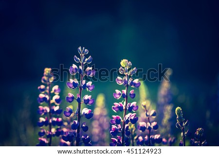 Vintage photo of lupine flowers blooming on wild meadow. Natural background - stock photo