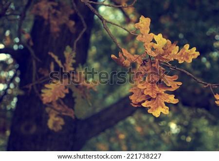Vintage photo of oak tree leaf - stock photo