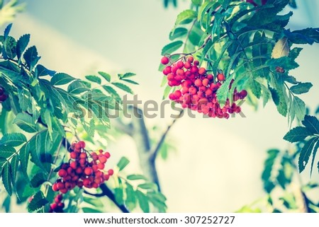Vintage photo of red rowan fruits on branch. Nature background of mountain ash. - stock photo