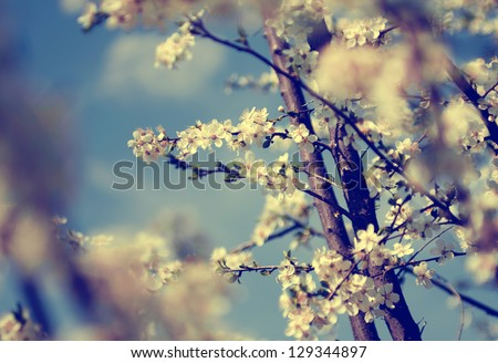 Vintage photo of white cherry tree flowers in spring - stock photo