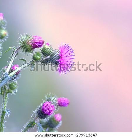 Vintage photo thistle flowers. - stock photo