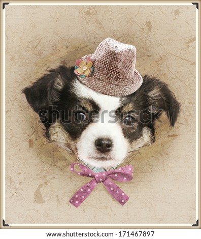 vintage photo with dressed chihuahua  - stock photo