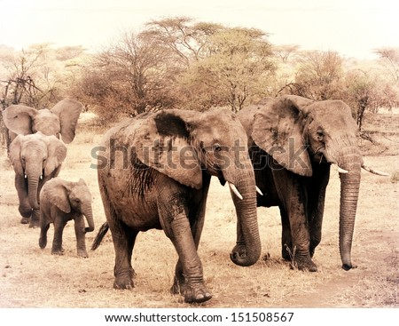 vintage photograph from a herd of elephants during a safari in Africa - stock photo