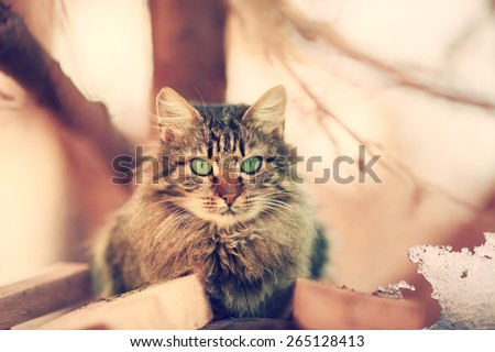 Vintage portrait of cute siberian cat outdoors  - stock photo