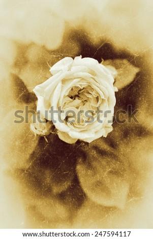 Vintage rose. - stock photo