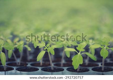 Vintage sapling of tomato - stock photo