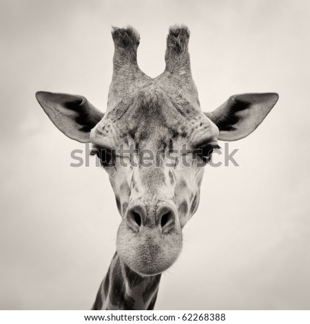 vintage sepia toned image of a Giraffes Head in the wild against the sky - stock photo