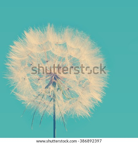 Vintage spring image of a Dandelion - stock photo
