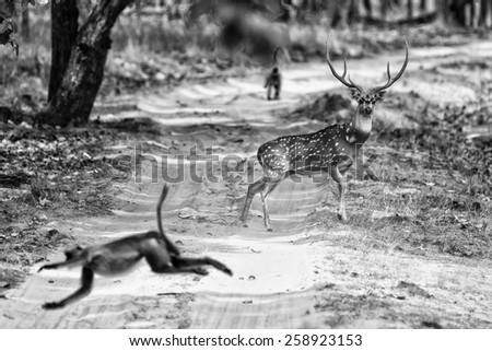 Vintage style black and white image of a Chital or cheetal deer (Axis axis), also known as spotted deer or axis deer in the Bandhavgarh National Park in India.  - stock photo