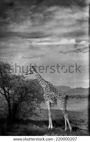 Vintage style black and white image of a giraffe in the Serengeti National Park, Tanzania - stock photo