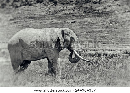 Vintage style black and white image of a huge African elephant bull in the Ngorongoro Crater, Tanzania - stock photo