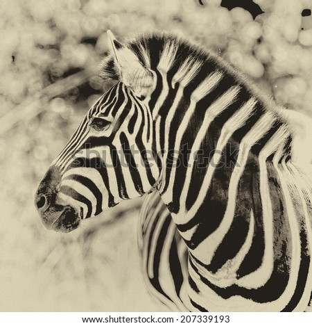 Vintage style black and white image of a Zebra in Kruger National Park, South Africa - stock photo