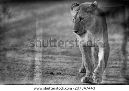 Vintage style black and white image of an African Lioness in the Maasai Mara National Park, Kenya - stock photo