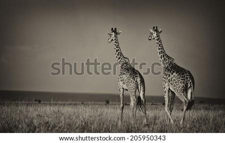 Vintage style black and white image of giraffes on the Masai Mara National Reserve - Kenya - stock photo