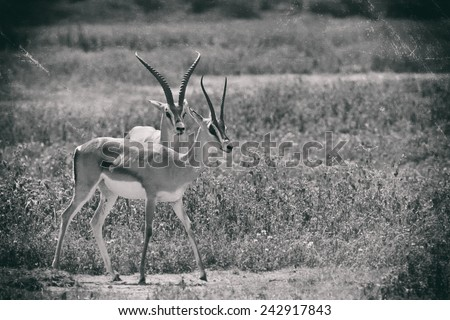 Vintage style black and white image of Grant's Gazelles in the Serengeti National Park, Tanzania - stock photo