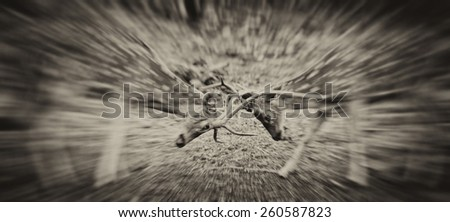 Vintage style black and white image of two Chital or cheetal deers (Axis axis), also known as spotted deer or axis deer fighting in the Bandhavgarh National Park in India.  - stock photo