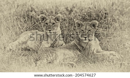 Vintage style black and white image of two Lion cubs on the plains of the Maasai Mara, Kenya - stock photo