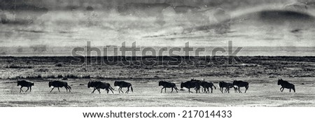 Vintage style black and white image of Wildebeests running in the Ngorongoro Crater, Tanzania - stock photo
