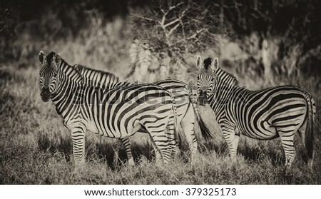 Vintage style image of a group of zebras in Kruger National Park, South Africa - stock photo