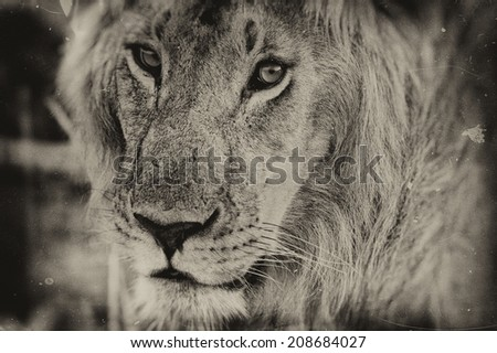 Vintage style image of a Male African Lion in the Maasai Mara National Park, Kenya - stock photo