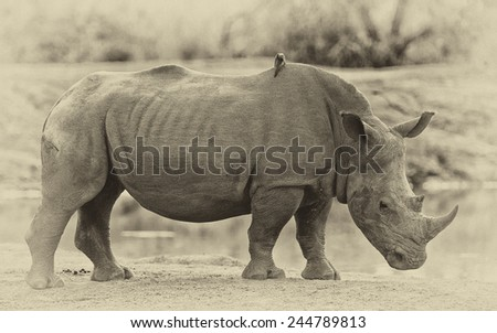 Vintage style image of a Rhinoceros in Hlane National Park, Swaziland - stock photo