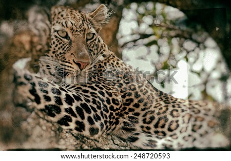 Vintage style image of a Wild leopard lying in wait atop a tree in Masai Mara, Kenya, Africa - stock photo