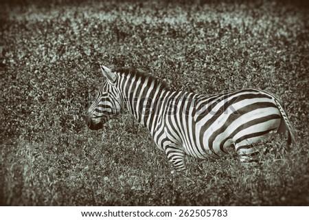 Vintage style image of a Zebra in the Ngorongoro National Park, Tanzania - stock photo