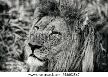 Vintage style image of an African lion in Hlane National Park, Swaziland - stock photo