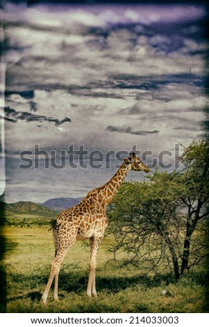 Vintage style image of  Giraffe in the Serengeti National Park, Tanzania - stock photo