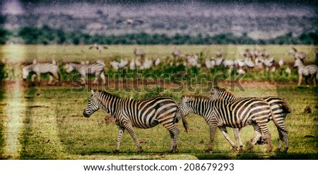 Vintage style image of Zebras in the Serengeti National Park, Tanzania - stock photo