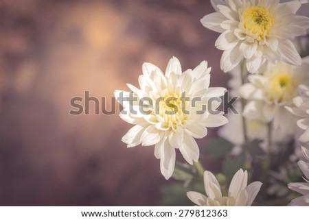 Vintage style, white chrysanthemum flower. - stock photo