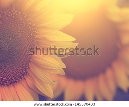 Vintage sunflower - stock photo