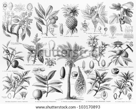 Vintage 19th century drawing representing various species of natural Fruits and seeds - Picture from Meyers Lexikon book (written in German language) published in 1908 Leipzig - Germany. - stock photo