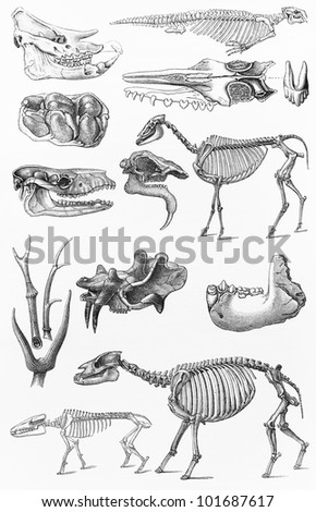 Vintage 19th century old drawing of various extinct animals skeletons - Picture from Meyers Lexikon book (written in German language) published in 1908 Leipzig - Germany. - stock photo