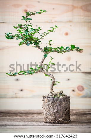 vintage tone of Small bonsai tree on a wooden background, Informal upright style. with roots - stock photo