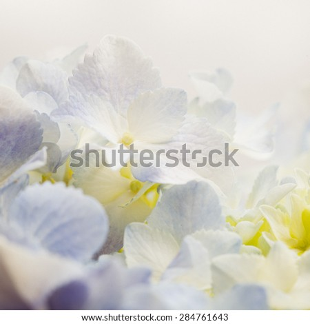 Vintage tone of  Sweet blue Hydrangeas in soft color style for romantic background - stock photo