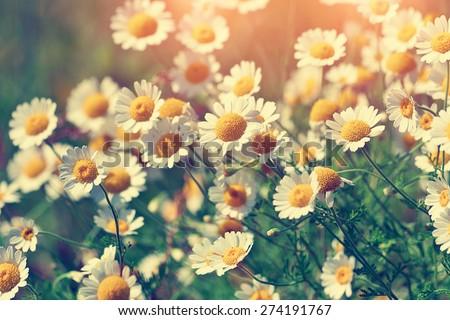 Vintage wilde chamomile flowers - stock photo