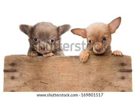 Vintage wooden crate filled with two newborn chihuahua puppies - stock photo