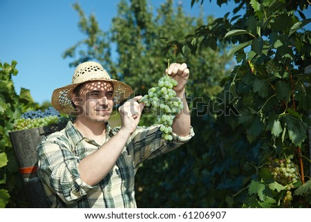 Vintager wearing butt full of grapes during the vintage. - stock photo