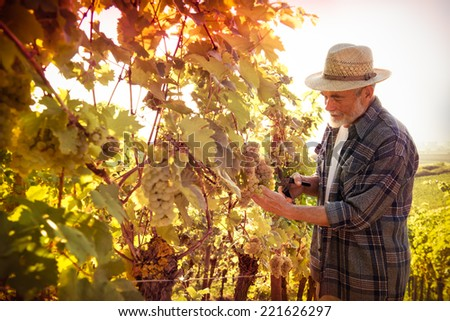 Vintner in straw hat examining the grapes during the vintage - stock photo