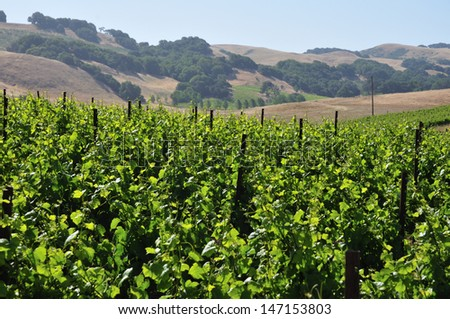 vinyard with northern California mountains in the background - stock photo