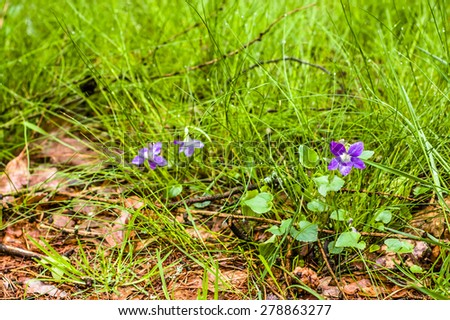 Viola canina blooming in wet spring forest grass, nature backgrounds - stock photo